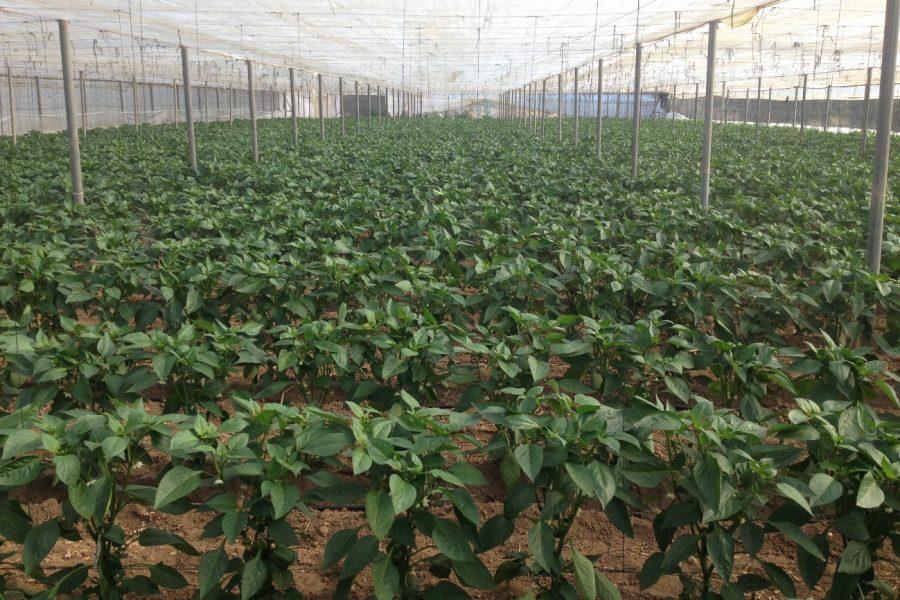 Manejo fitosanitario del pimiento en invernadero