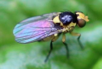 Fauna auxiliar: Liriomyza trifolii.