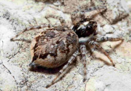 Fauna auxiliar: Araña saltarina.