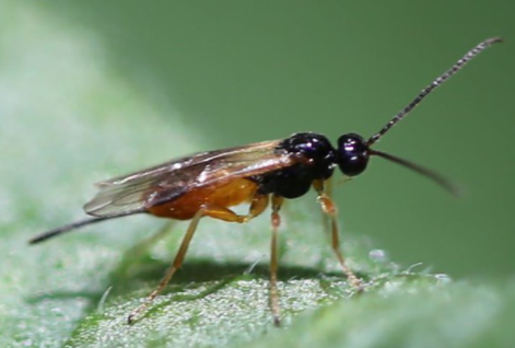 Fauna auxiliar: Aphidoletes aphidimyza.