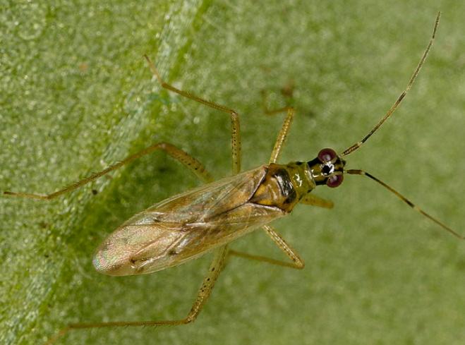 Fauna auxiliar: Nesidiocoris tenuis.