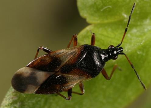 Fauna auxiliar: Orius laevigatus.