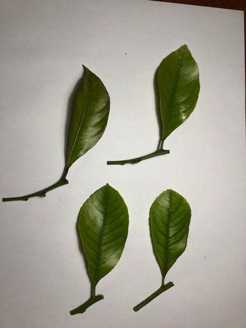 Esqueje de brotes de hojas II