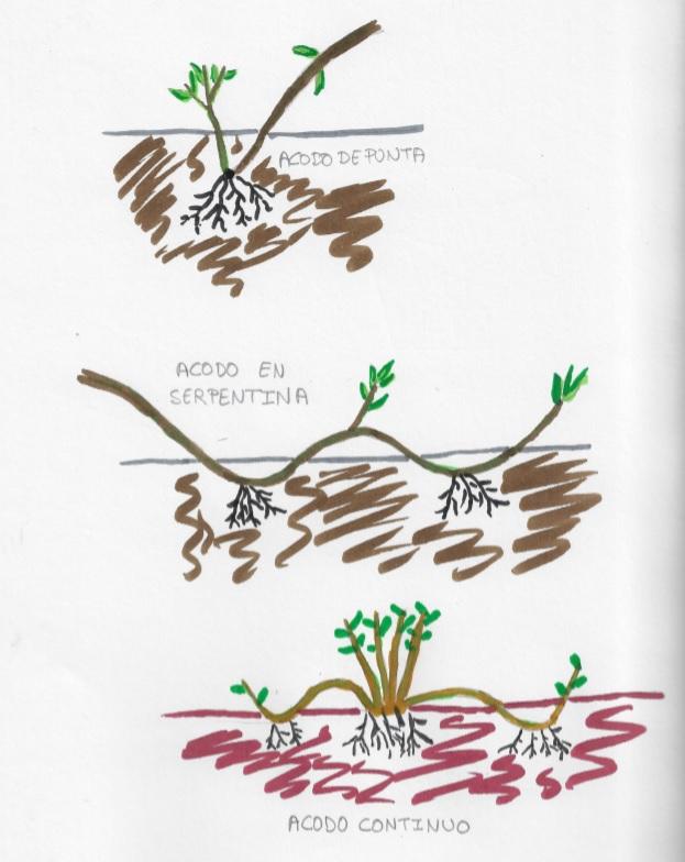 Dibujo de distintos tipos de reproducción por acodo II
