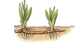 Representación de una reproducción por rizomas