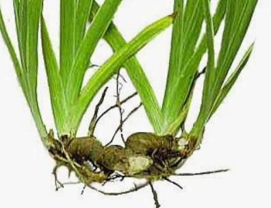 Visión de una planta con reproducción por rizomas
