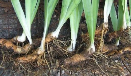 Imagen de plantas reproducidas por tubérculos