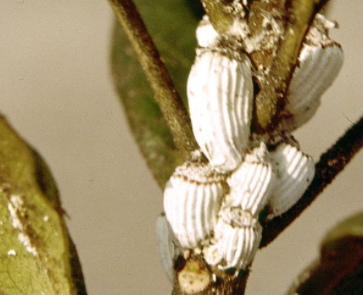 Cochinilla acanalada (blanda).