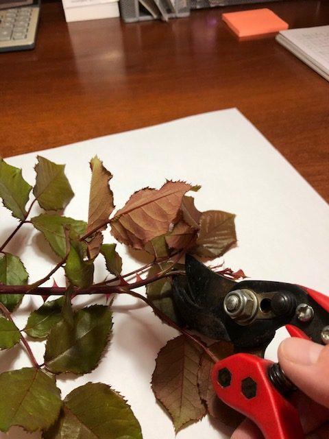 Corte de un esqueje de madera blanda