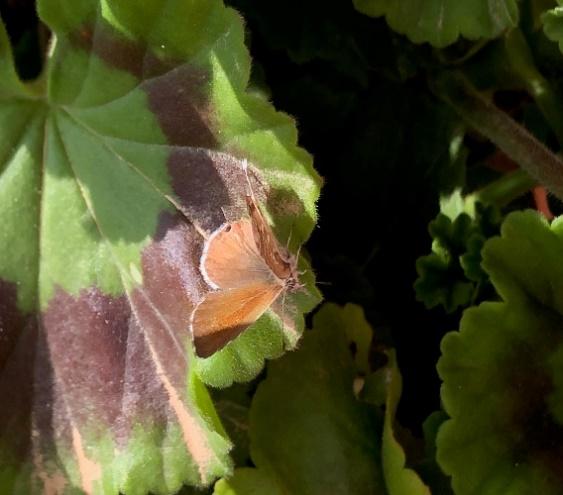 Fauna auxiliar: Mariposa de los geranios.
