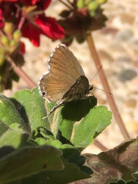 Detalle superior de las alas de la mariposa de los geranios.