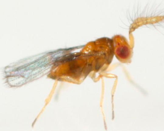 Adulto de Trichogramma evanescens.