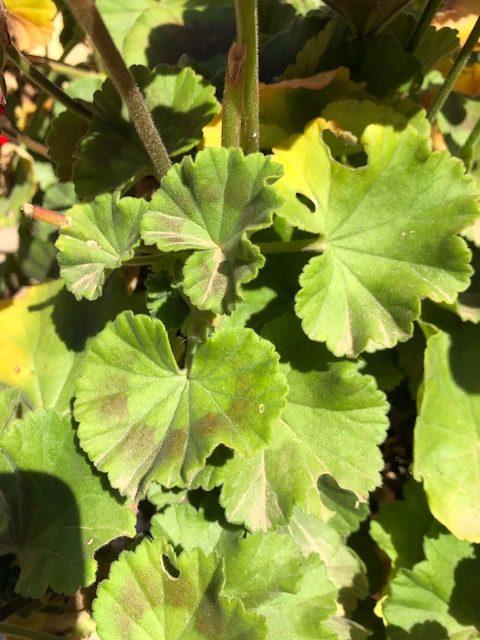 Daños en hojas y tallo de geranio causados por la mariposa II
