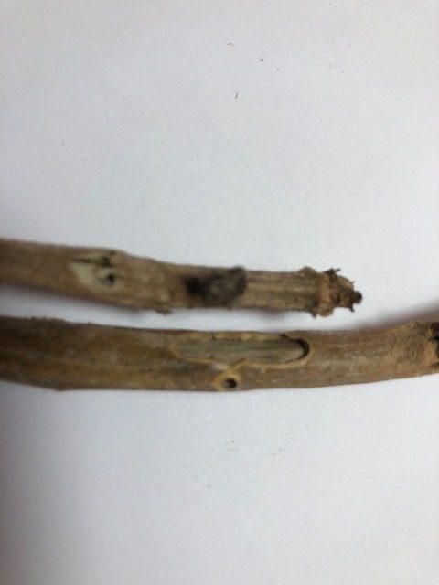 Daños en hojas y tallo de geranio causados por la mariposa III