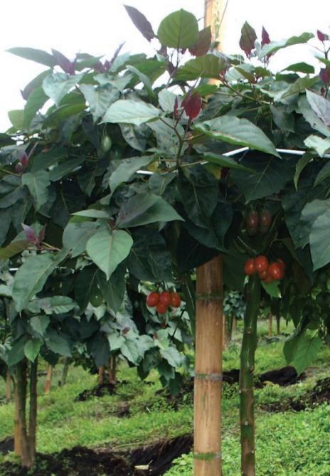 Planta de tomate árbol