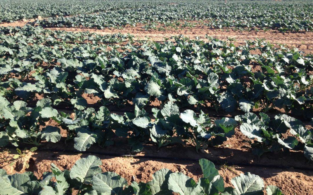 Plan de fertilización del Brócoli