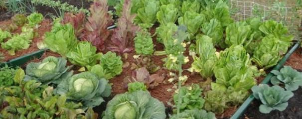 Asociar cultivos en el huerto