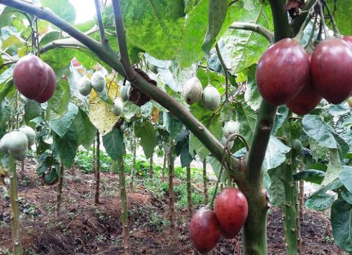 El cultivo del tomate árbol en nuestros huertos