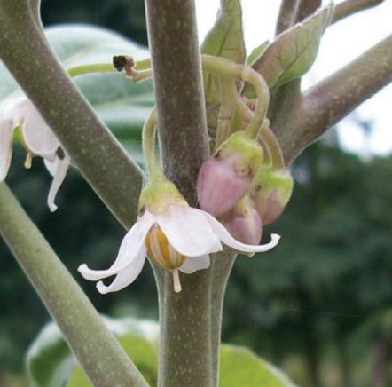 Semillas de un tomate árbol
