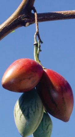 Frutos en una rama de tomate árbol