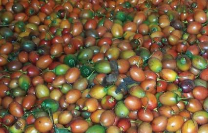 Cosecha de tomate árbol