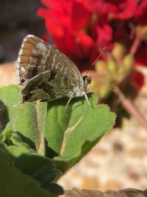 La mariposa de los geranios