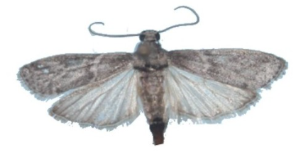 Adulto de Ectomyelois ceratoniae.
