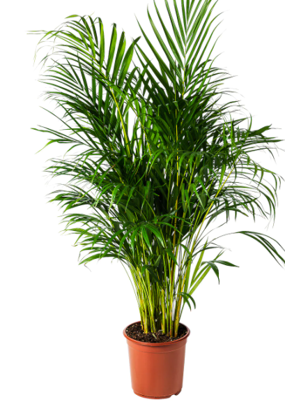 Chrysalidocarpus lutescens.