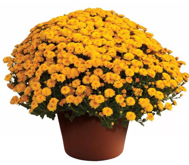 Chrysanthemum morifolium.
