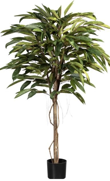 Ficus Alii.