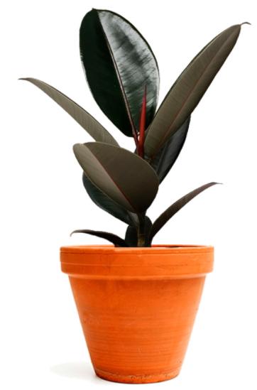 Ficus elastica.