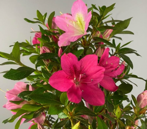 Rhododendron indicum.