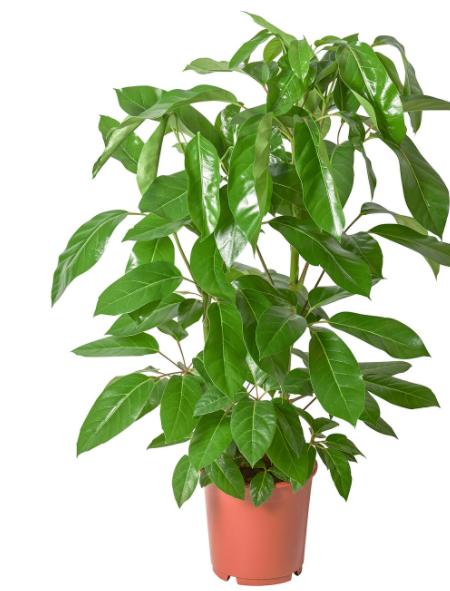 Schefflera actinophylla.