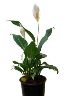 Spathiphyllum schott.