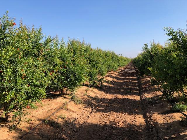El cultivo del granado en la península ibérica