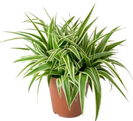 Chlorophytum comosum.