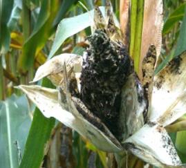 Los hongos que causan enfermedades en las plantas 4
