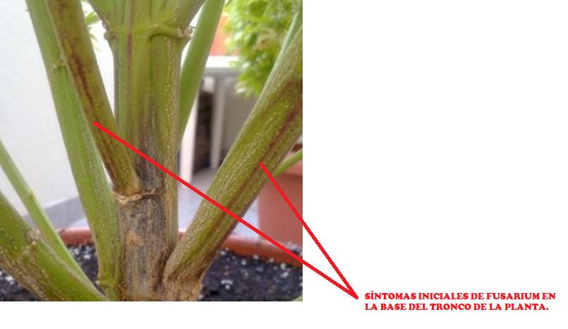 Síntomas iniciales de fusarium en tronco