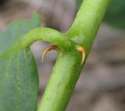 Espinas en tallo de la alcaparra