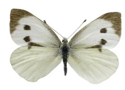 oruga de las brásicas como mariposa