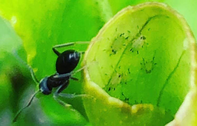 Hormiga protegiendo una colonia de pulgones.