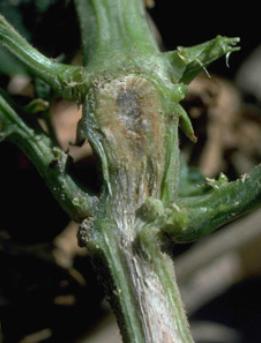 Los hongos que  causan enfermedades en las plantas 5