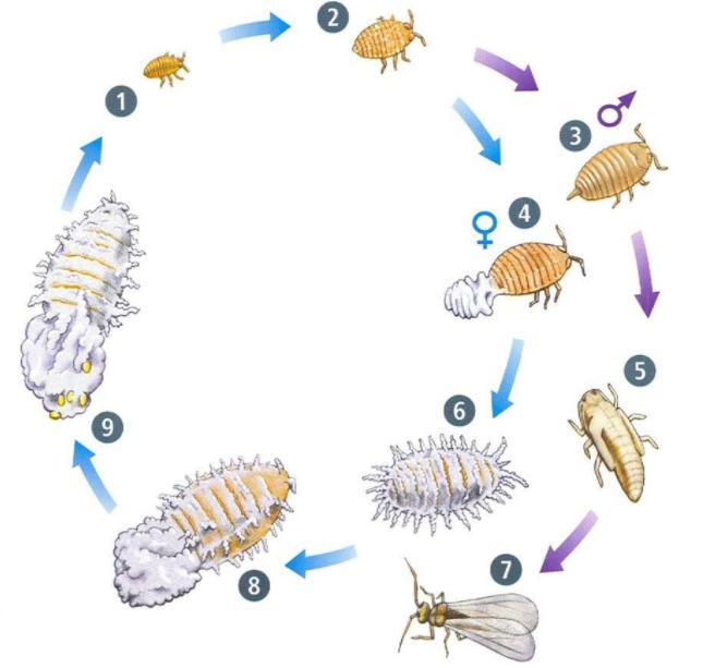 Ciclo biológico de la cochinilla.