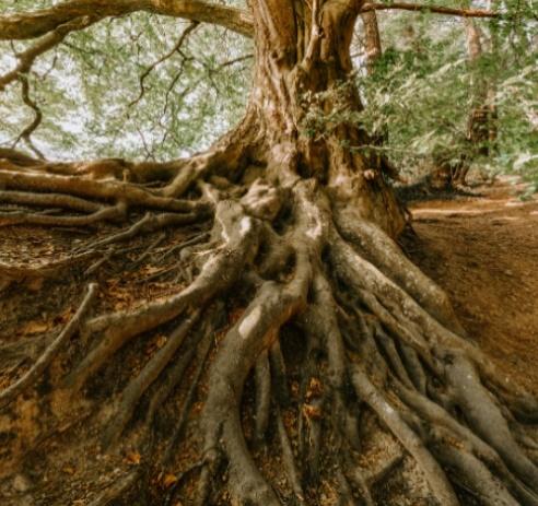 Imagen de las raices de un árbol como parte de la microbiología del suelo.