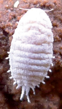 Delottococcus aberiae.