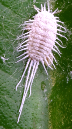 P. longispinus.