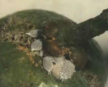Cotonet adulto en un fruto