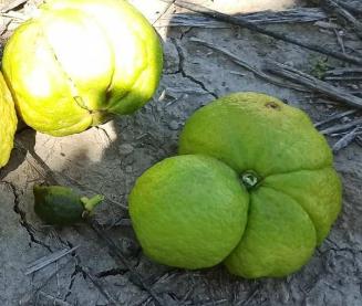 Daño producido por el cotonet en frutas