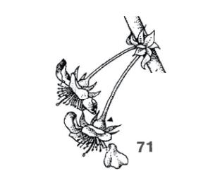 Imagen estados fenológicos: 71