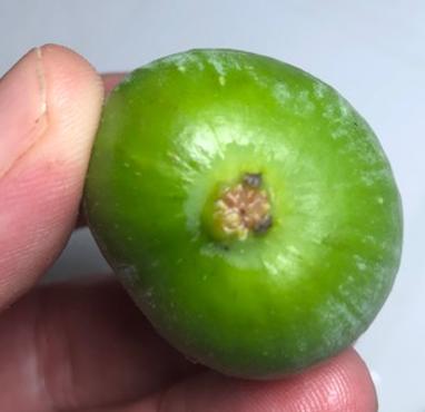 Detalle del ostiolo de un fruto.